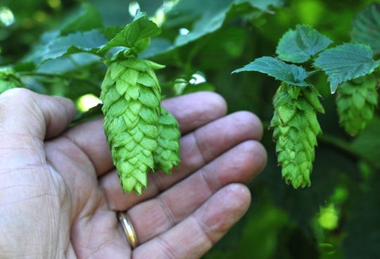 Chinook hop cones are  one of 12 varieties of hops at Michigan Hop Alliance in Omena, Michigan.