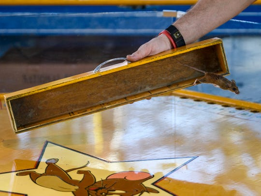 Christopher Mark Jacobson, a Bohlander Games employee, releases a mouse onto a spinning wheel and watches it scurry into one of 100 numbered holes during the 97th annual West Side Nut Club Fall Festival on West Franklin Street in Evansville, Ind., Wednesday, Oct. 3, 2018. Players use quarters to place bets on which hole the mouse will burrow into.