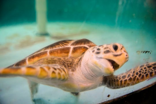A green sea turtle was found dead this week. A necropsy is planned but will have to wait as Guam battles the coronavirus spread. PDN file photo.