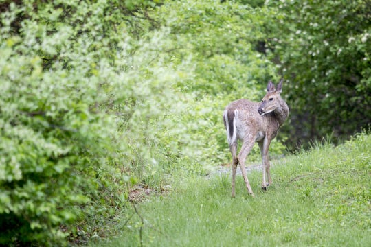 A female deer grazes near North Dubuque Street on Monday, May 12, 2014.