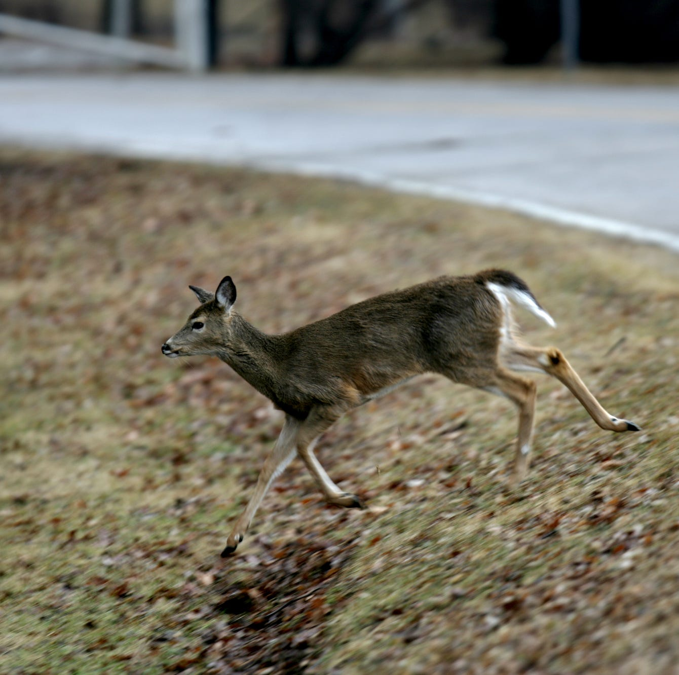 Commission says no to sharp shooting deer, proposes bow hunt