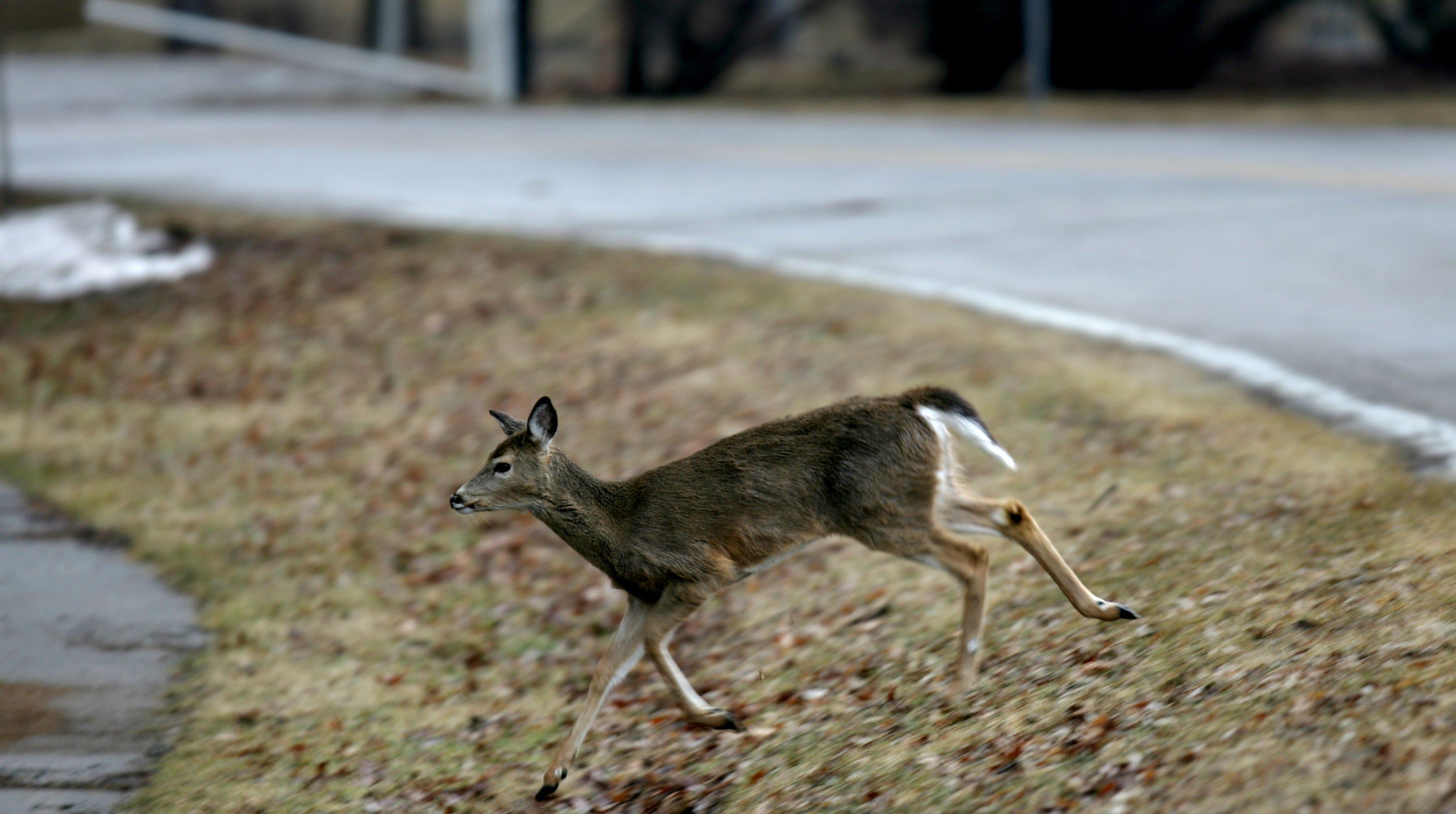 why say no to iowa city s deer hunt