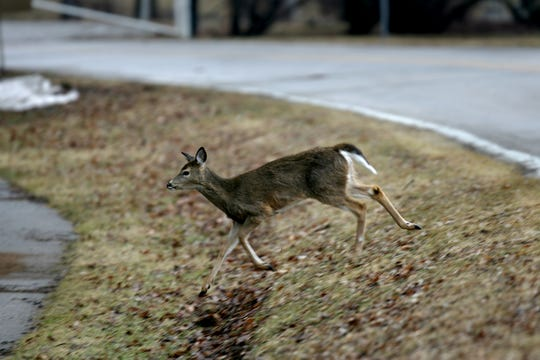 A deer crosses North Dubuque Street in this March 9, 2011.