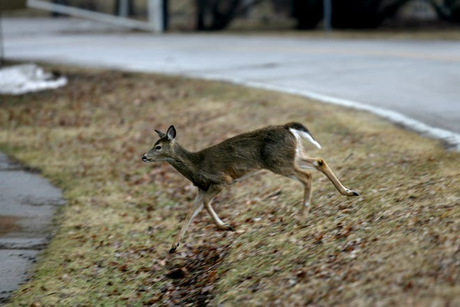 A deer crosses North Dubuque Street in this March 9, 2011 file photo.