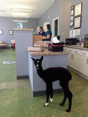 Isabella the alpaca at the front desk of Riverside Veterinary Clinic.