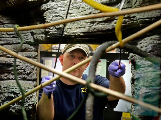 Zookeeper Chad Pappas handles Rimmel London, an eyelash viper, as he moves the snake in preparation to feed it at the Milwaukee County Zoo's Aquatic and Reptile Center.