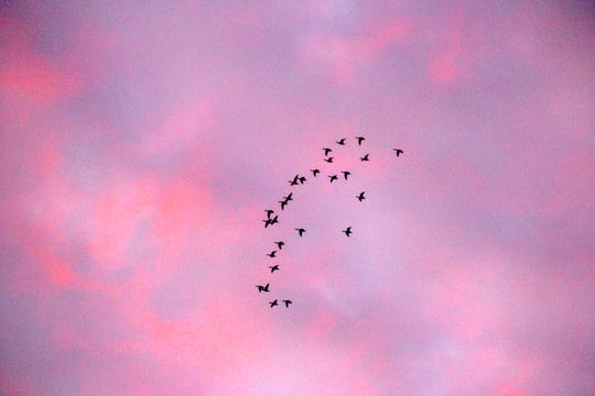 A flock of ducks flies over a marsh near Rosendale at dawn on the first day of the Wisconsin duck hunting season.