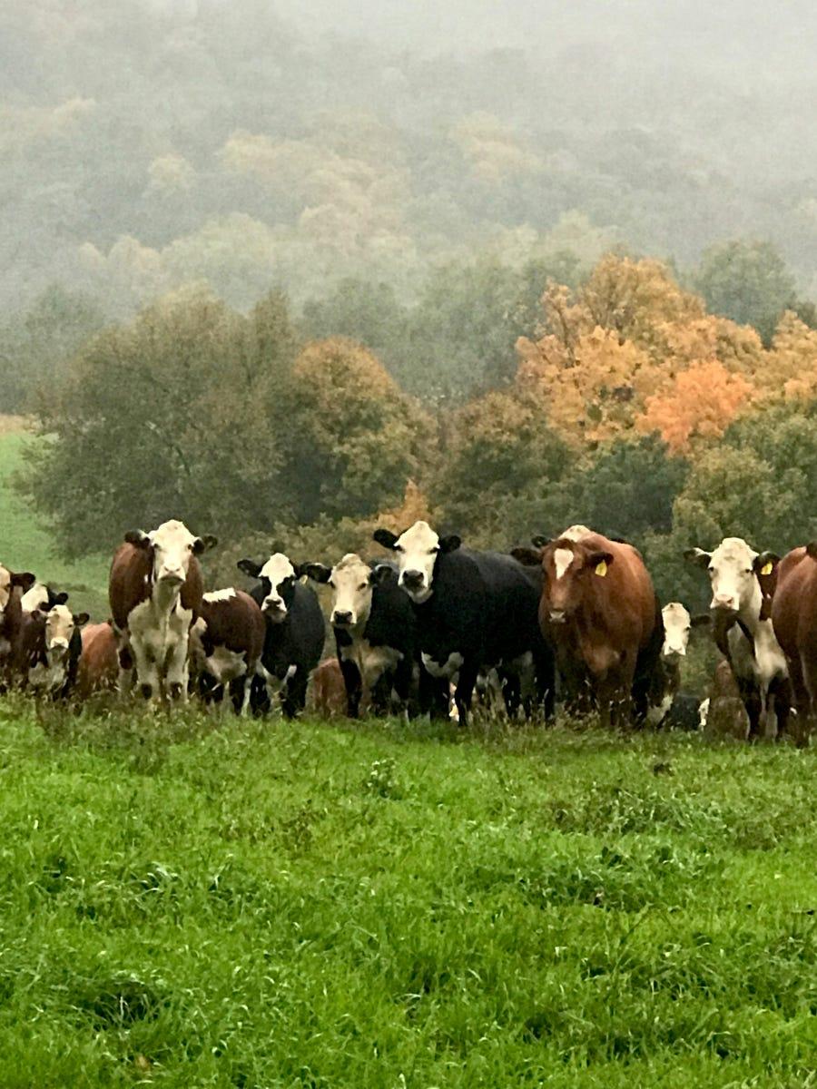 Cows along the Farm Art DTour route, near La Rue, Wisconsin.