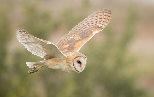 Barn Owl By Ian Davies