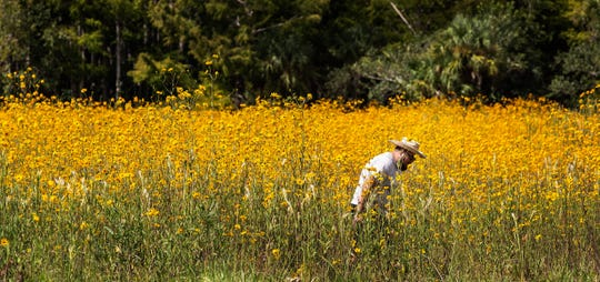 Adrian Rosales walks through a field of blooming Southeastern sunflowers (Helianthus agrestis) at Pepper Ranch Preserve in 2018.  Conservation Collier bought the 2,500-acre ranch in 2009. The preserve, named for the family that acquired the ranch in 1926, features trails for hiking, horseback riding and mountain biking; public access roads; camping and an old lodge. Environmental groups are gearing up for a 2020 referendum on whether to extend the land preservation program.