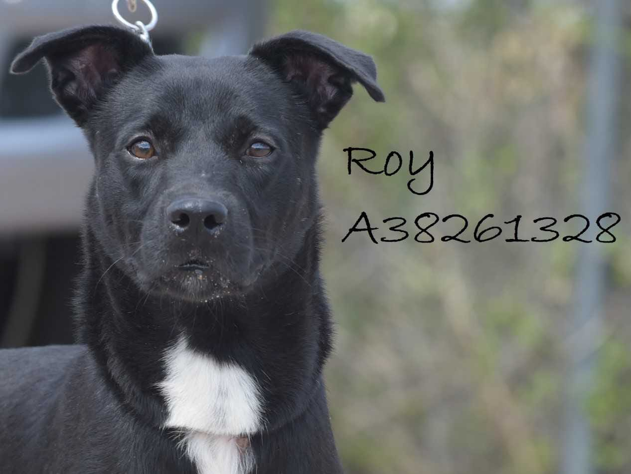 Roy - Male (neutered) Lab mix, about 2.5 years old. Intake date: 4-20-2018