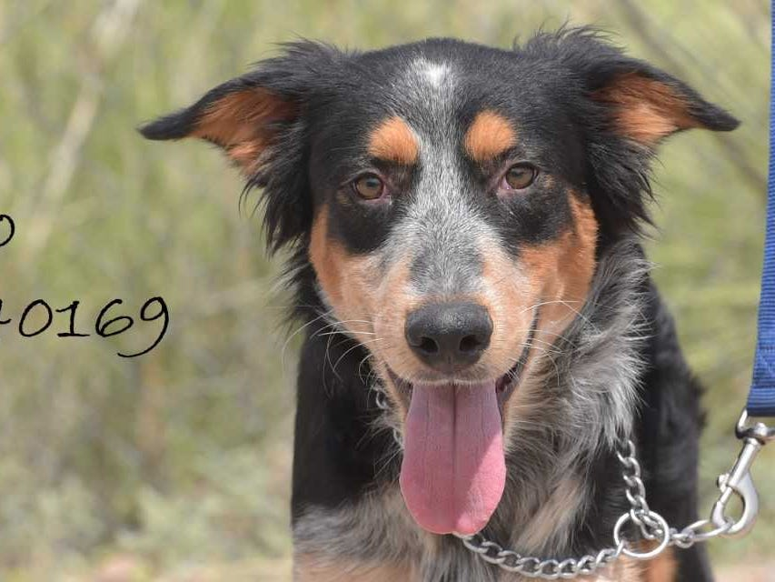 Rambo - Male (neutered) heeler mix, about 1 year old. Intake date: 6-23-2018