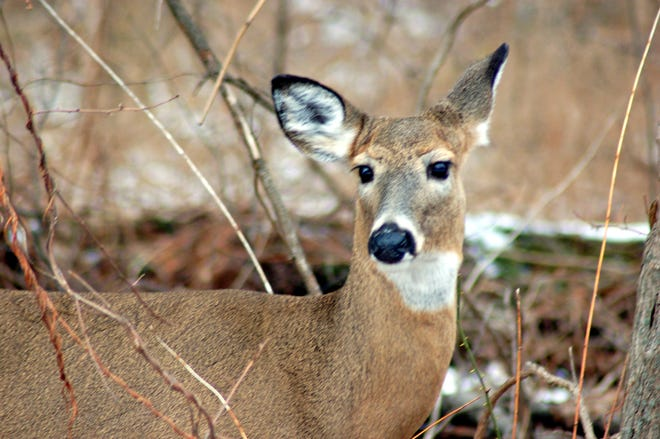 Only antlerless deer are allowed to be harvested during the Oct. 12-16 season.