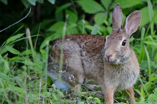 Cottontail populations are on the decline.