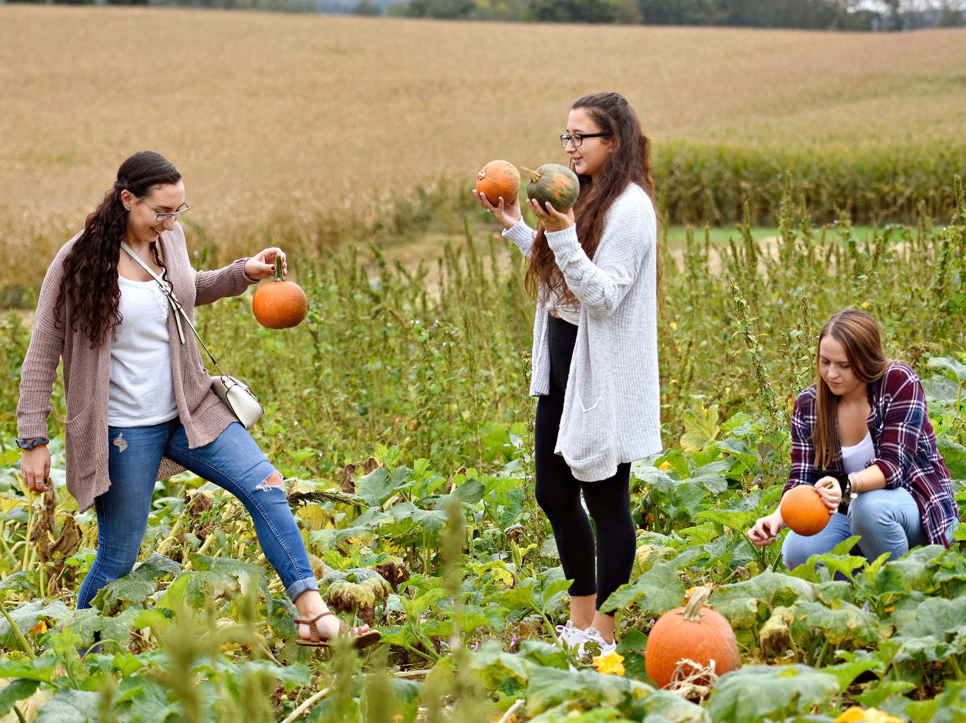 From left, McKenzie Krewson, Lilly Summers and Kara Crawford, all of West York Borough,  select pumpkins from the patch at Flinchbaugh's Orchard & Farm Market in Hellam Township, Friday, Oct. 5, 2018. Dawn J. Sagert photo