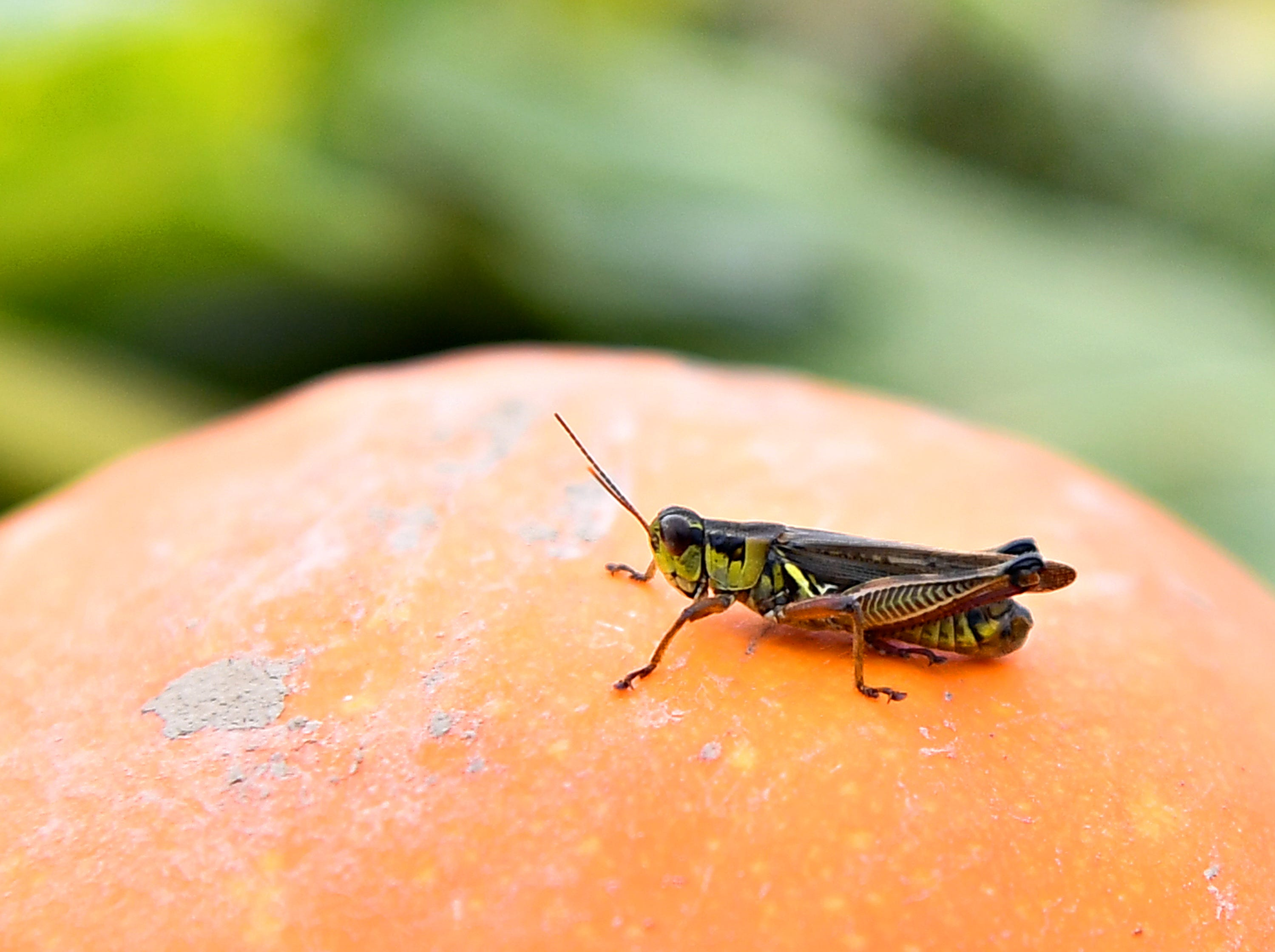 A grasshopper in the pumpkin patch at Flinchbaugh's Orchard & Farm Market in Hellam Township, Friday, Oct. 5, 2018. Dawn J. Sagert photo