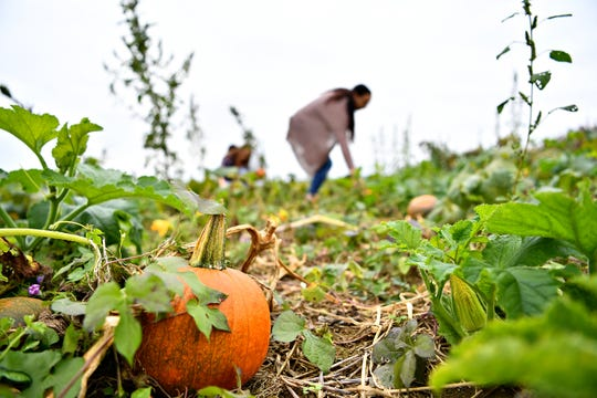 Pumpkins wait to be picked from their pumpkin patch at Flinchbaugh's Orchard & Farm Market in Hellam Township, Friday, Oct. 5, 2018. Dawn J. Sagert photo