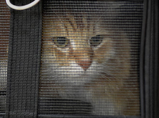 Bobby the cat sits in a pet travel bag at Reno-Tahoe International Airport on his way back home to Montana on Oct. 5, 2018. Bobby was found wandering around in Fallon, Nev. Nobody knows quite how he got there.