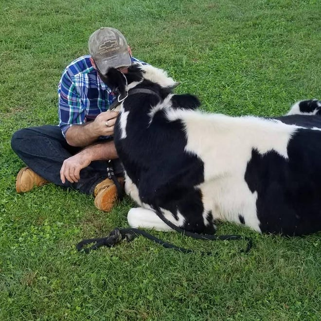 Annie the cow became famous after a viral video of her taking a ride in a pickup with Corey Morris of Ludlow Falls, Ohio (north of Dayton).