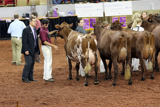 Judges study cows during international shows at World Dairy Expo in Madison on Oct. 3, 2018.