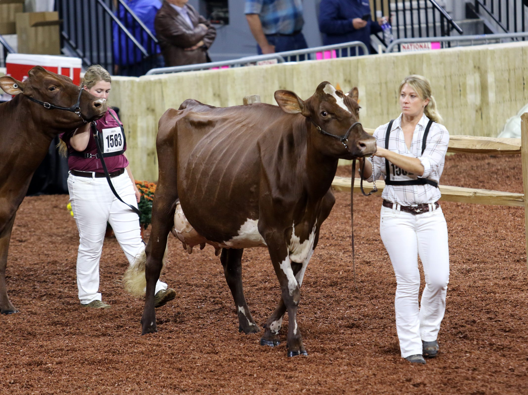 Cows are walked around the ring during international judging at World Dairy Expo on Oct. 3 in Madison.
