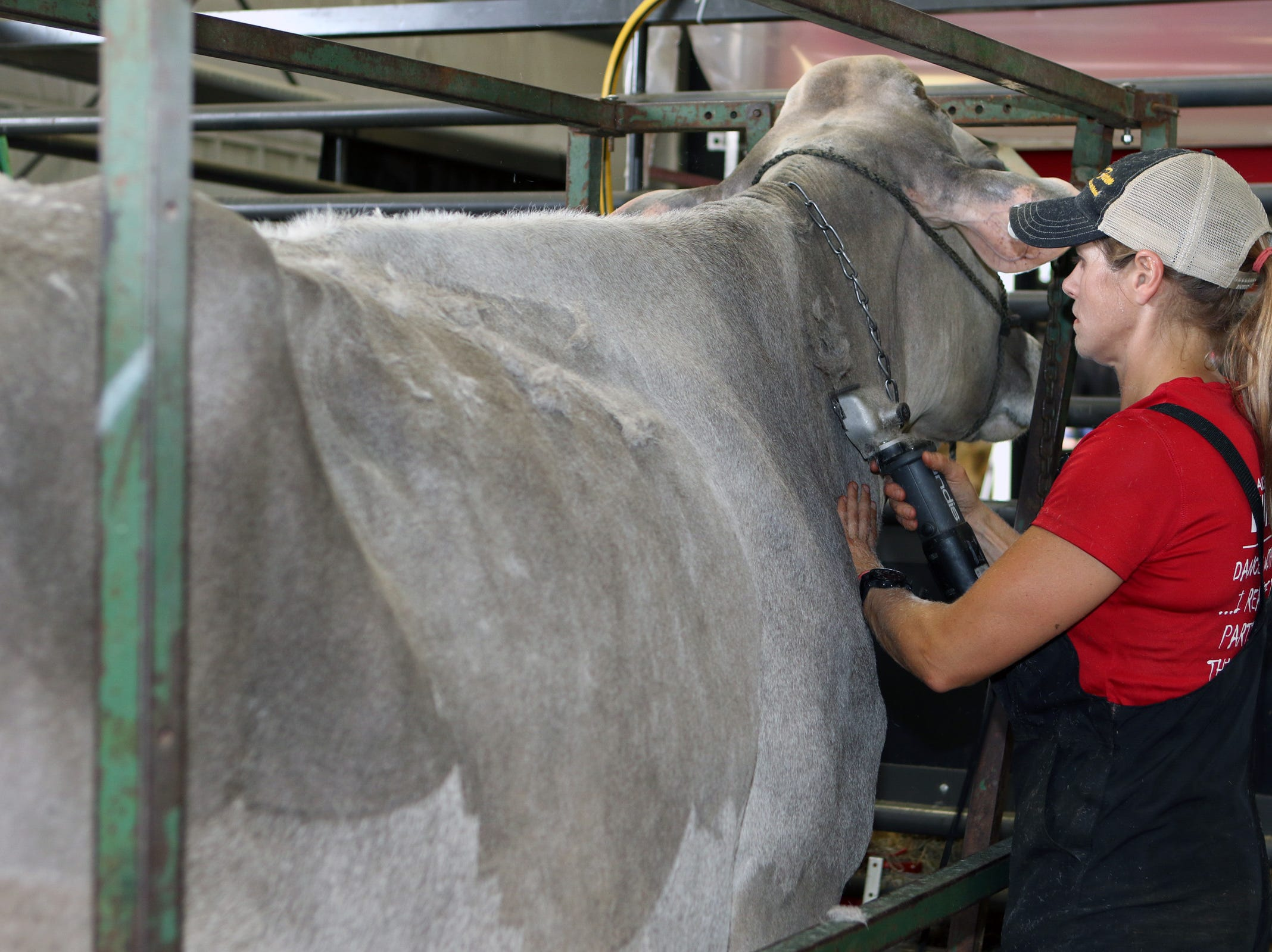 Laurie Winkelman, with Twinkle Hill Farm, of Watertown, shaves one of their registerd Brown Swiss before a show at World Dairy Expo on Oct. 3 in Madison.