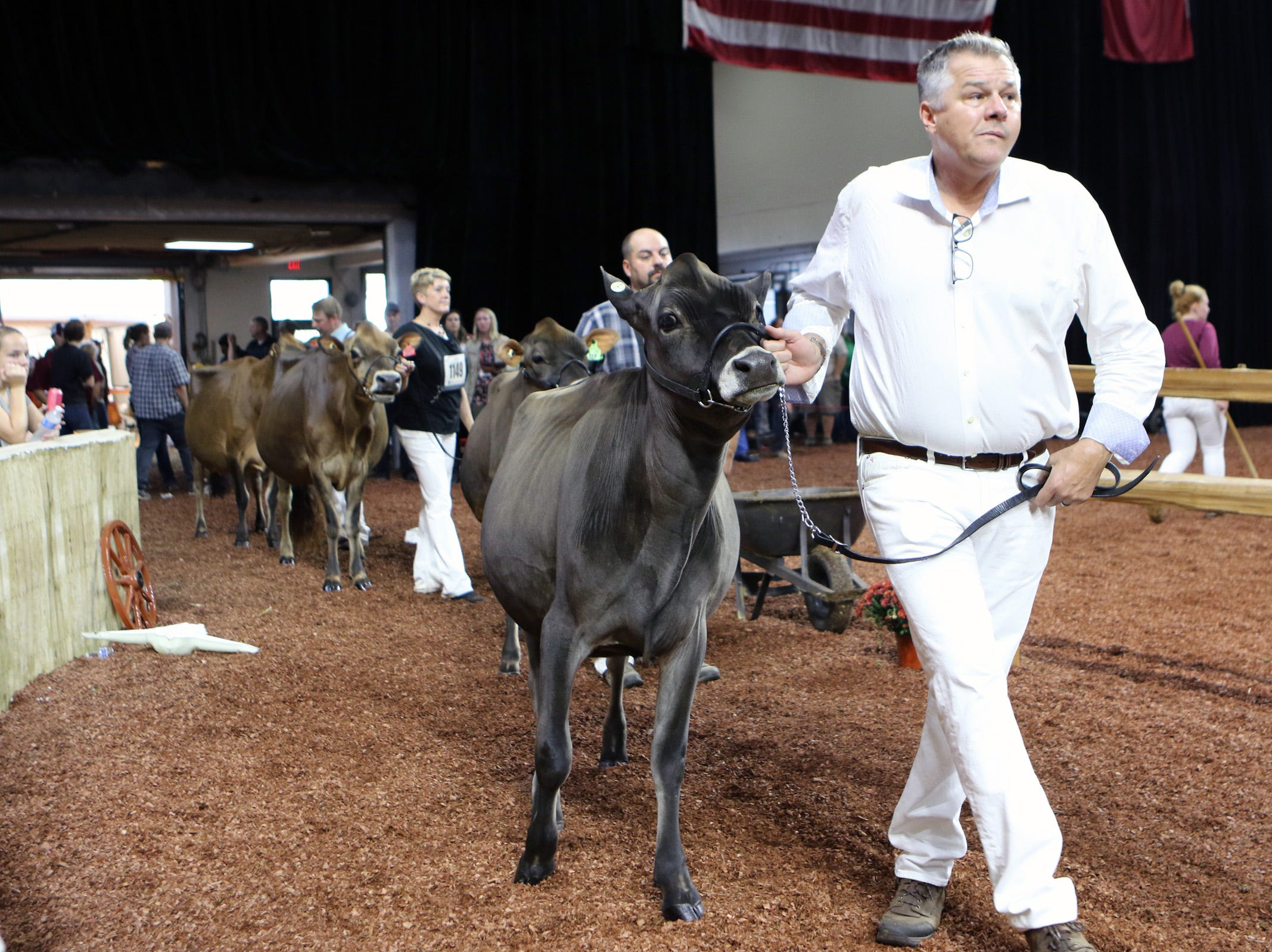Heifers are lead into the ring for during World Dairy Expo on Oct. 3 in Madison.