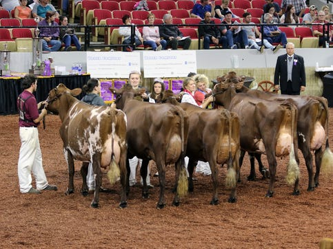 Cows in the International Milking Shorthorn show at World Dairy Expo receive ribbons on Oct. 3 in Madison.