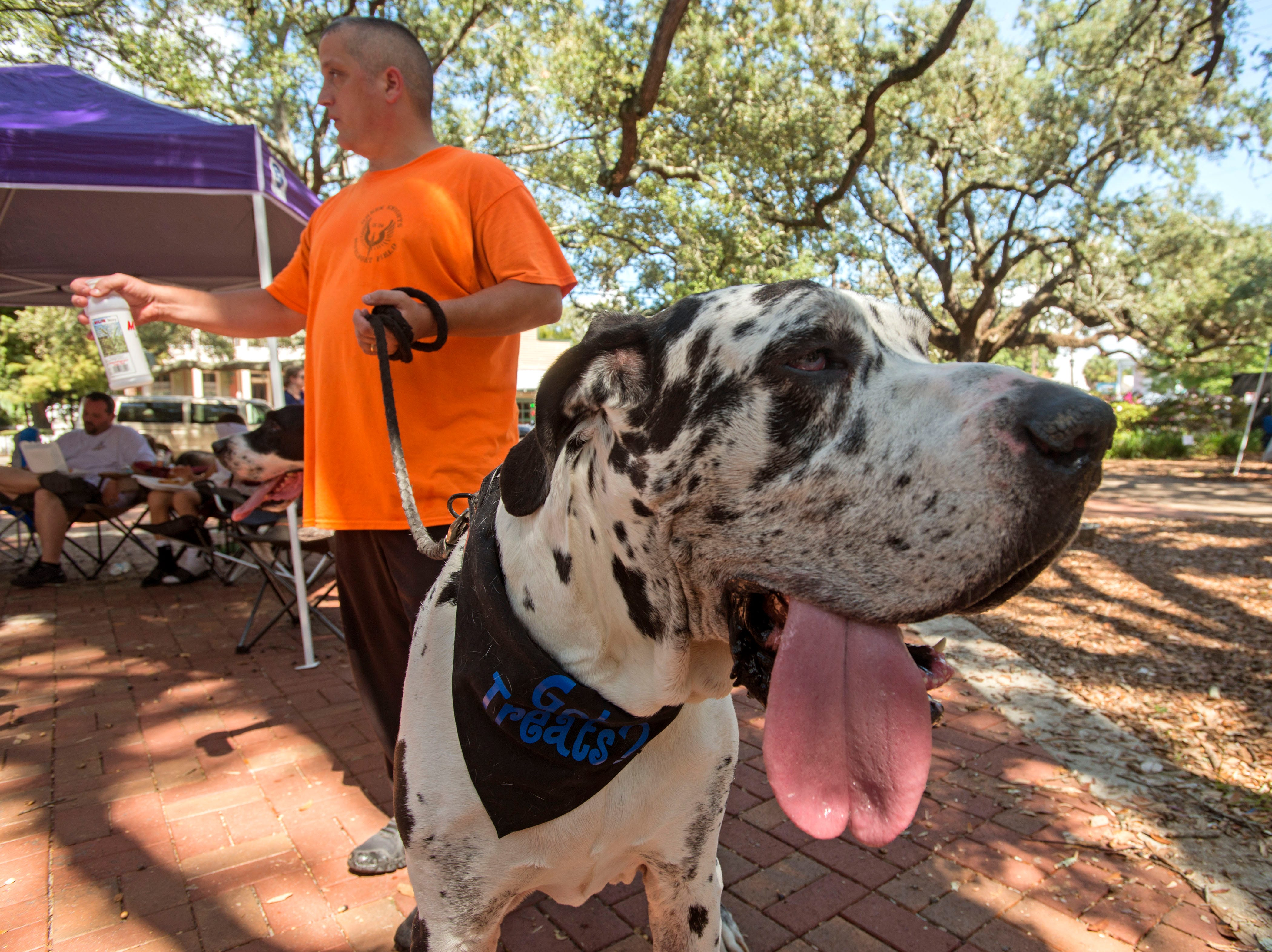 """""""Coach"""" checks out the vendors Saturday, October 6, 2018 during the third annual DaneTober Fest celebation and fundraising event at Seville Square. The event included music, per related merchandise,food and around two dozen aoptable Great Danes."""