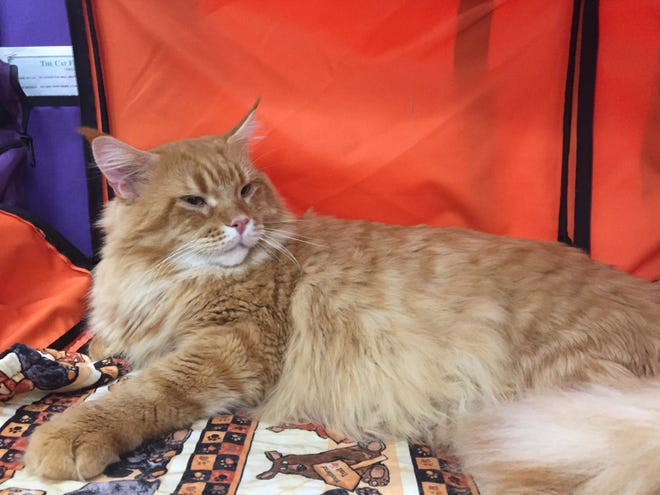Mael, a two-year-old Maine Coon Cat from New Oxford often attends shows as an CFA Ambassador Cat.