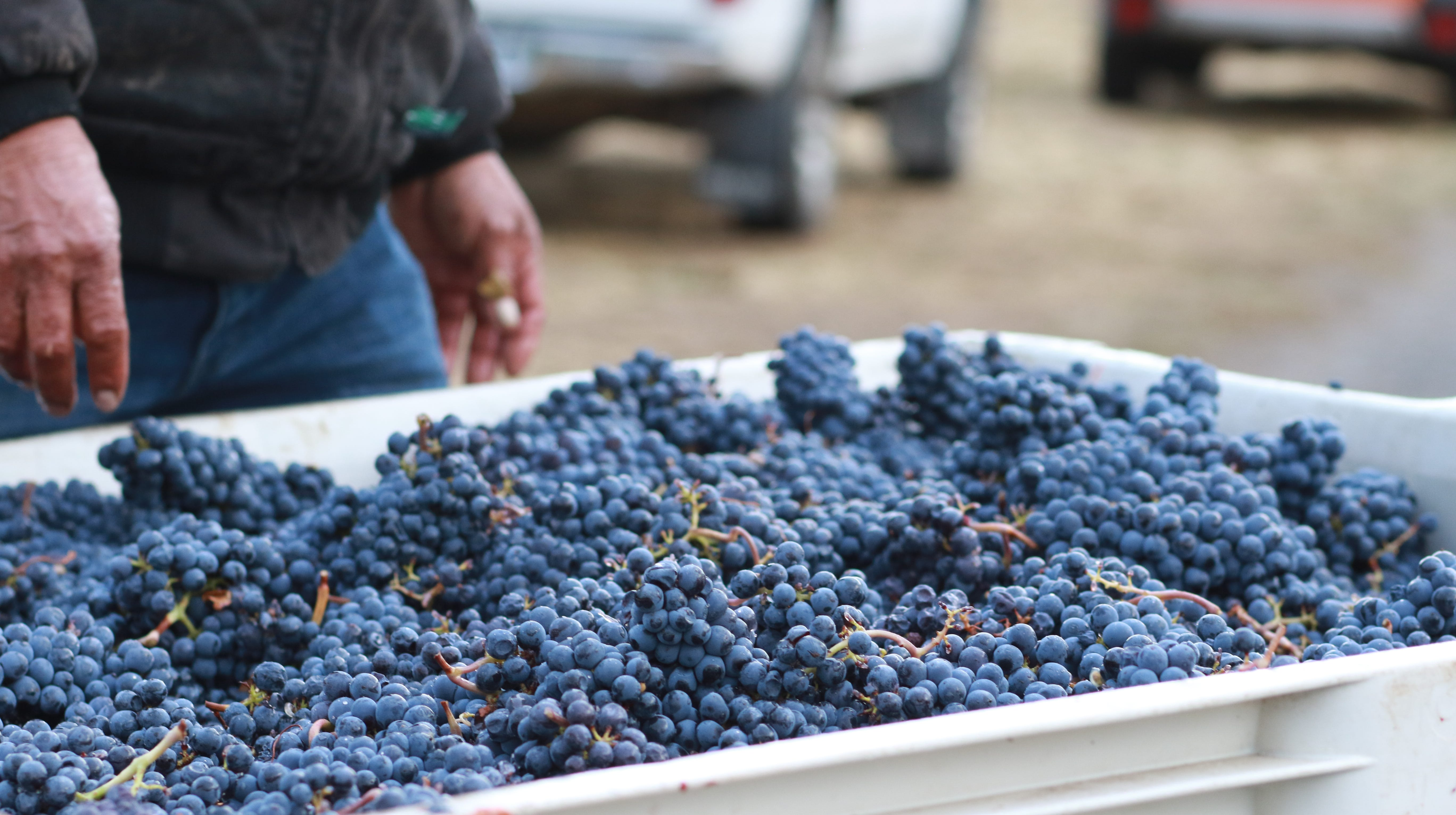 One bin of the 2,000 tons of Southern Oregon fruit rejected by a California winery  allegedly for smoke taint. These pinot noir grapes will be shipped north to make a bottling called Solidarity Vintage.