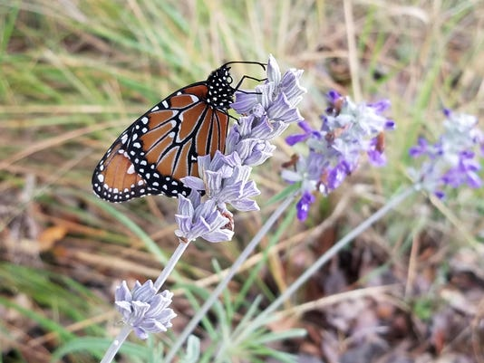 Monarch On Mealy Cup Sage