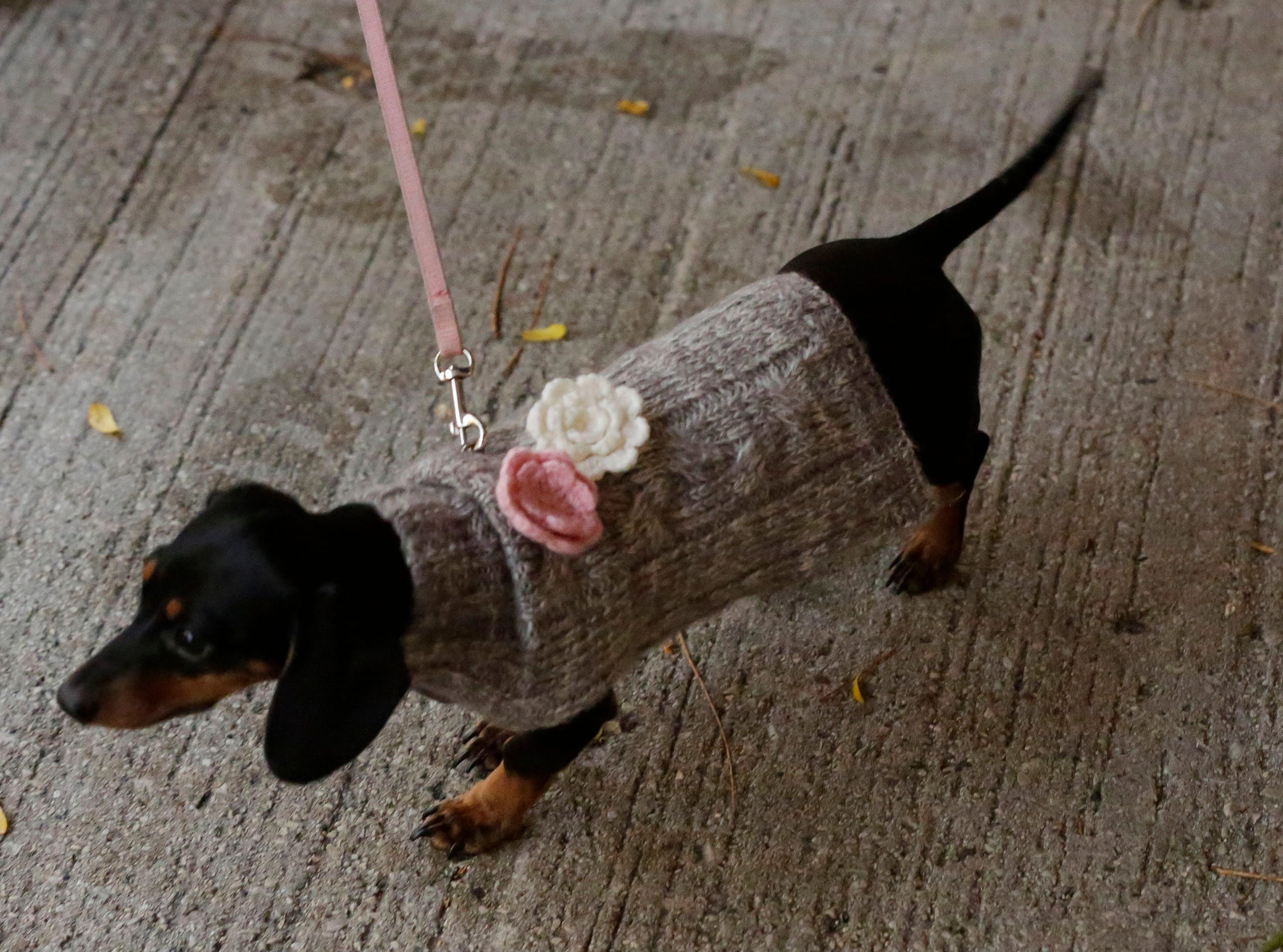 A dachshund wears a fancy sweater at Al and Al's during Oktoberfest festivities, Saturday October 6, 2018, in Sheboygan, Wis.