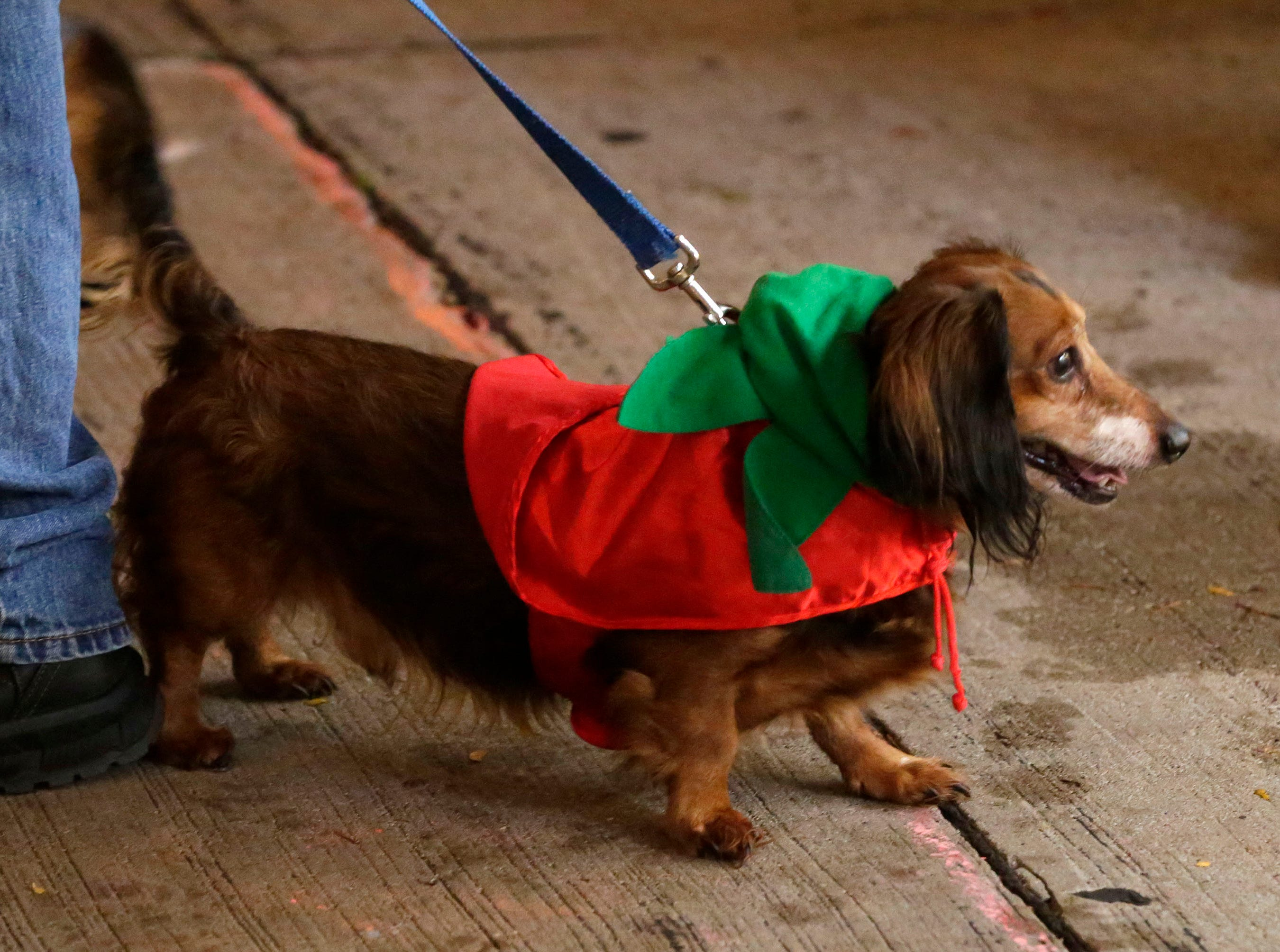 A dachshund is ready for the holidays at Al and Al's Oktoberfest festivities, Saturday October 6, 2018, in Sheboygan, Wis.