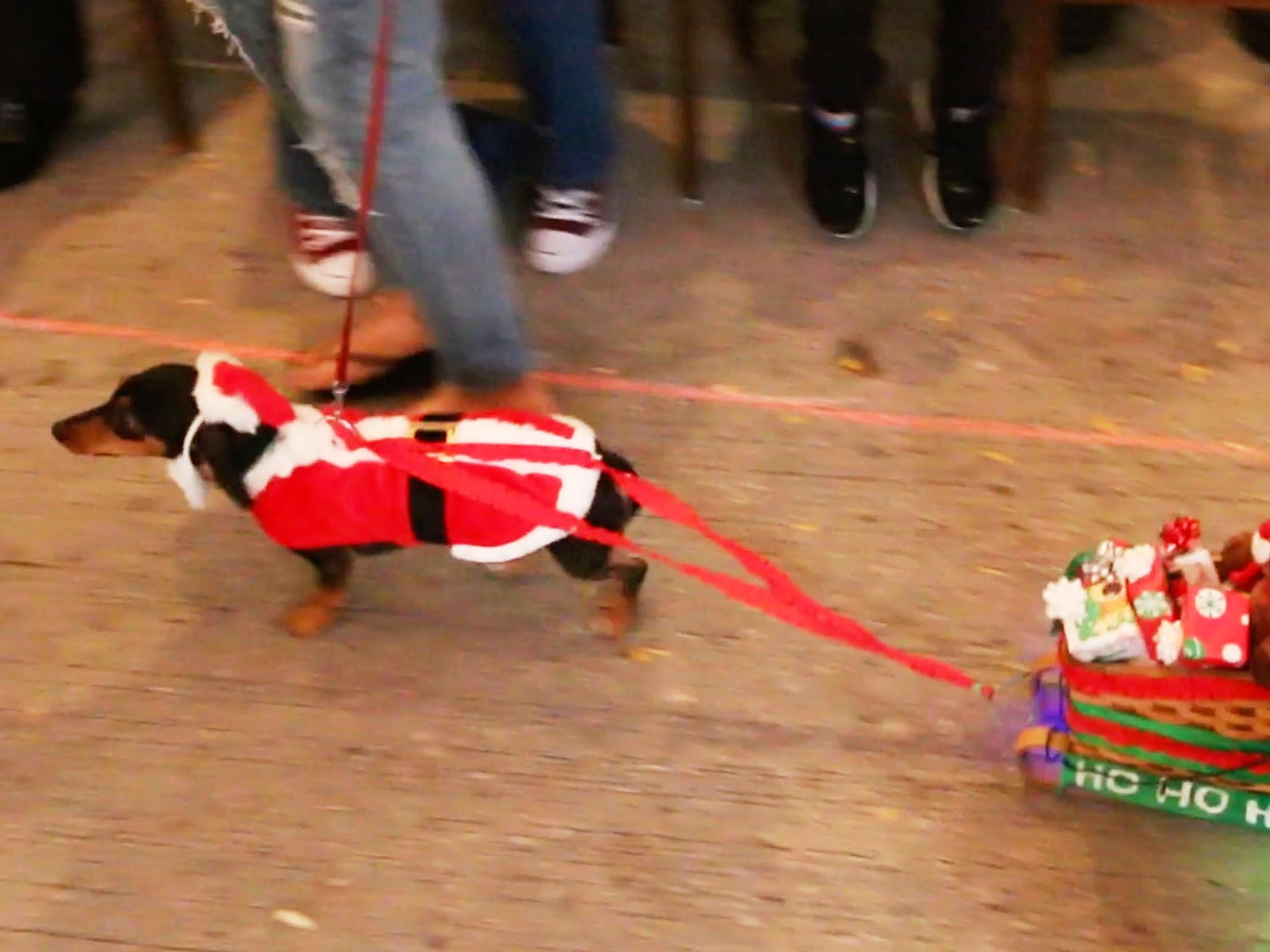 Olivia, the dachshund, runs towing a holiday sled during Al and Al's Oktoberfest weiner dog costume show,Saturday October 6, 2018, in Sheboygan, Wis.