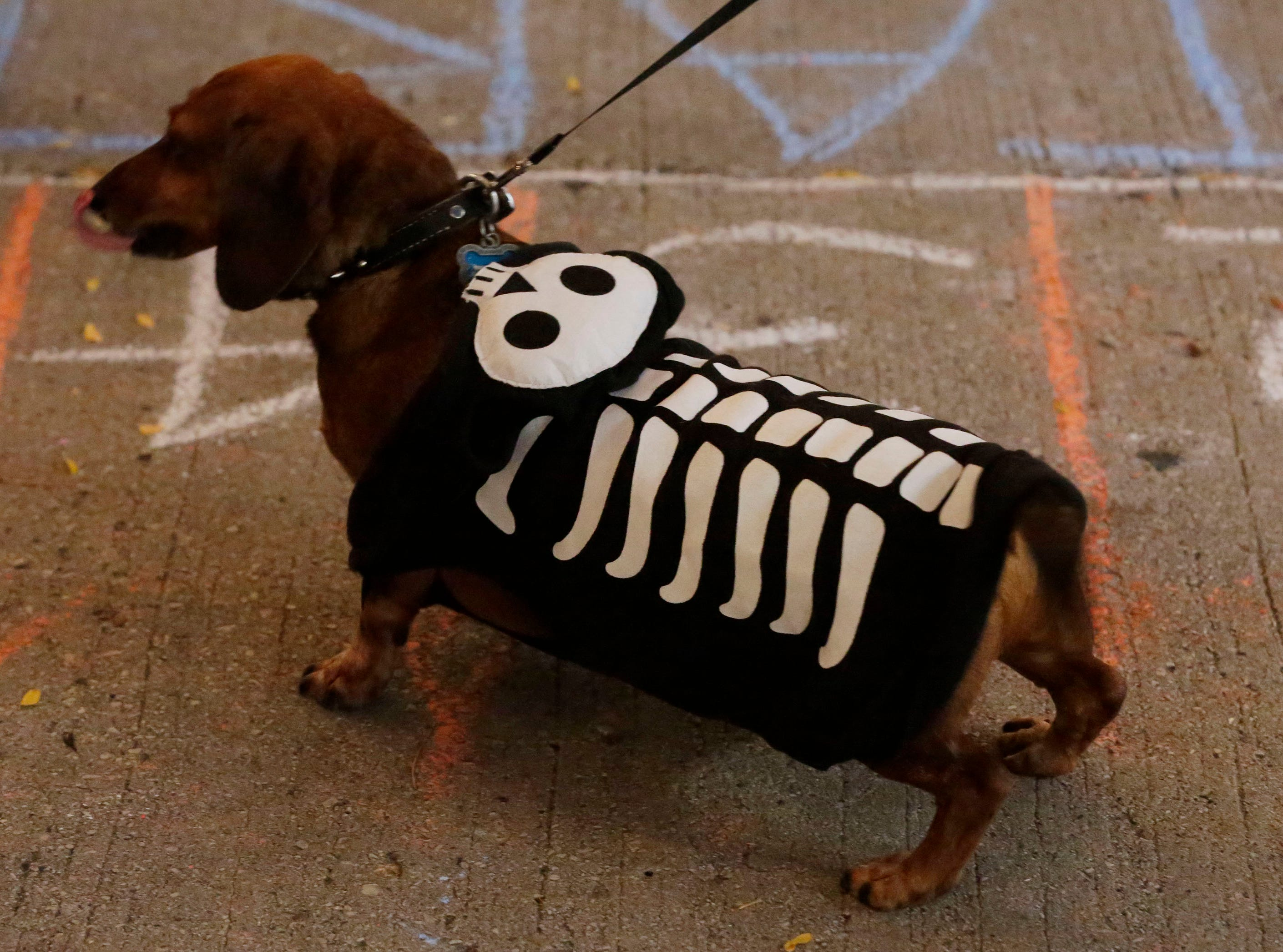 A dachshund is ready to scare up people at Al and Al's Oktoberfest, Saturday October 6, 2018, in Sheboygan, Wis.
