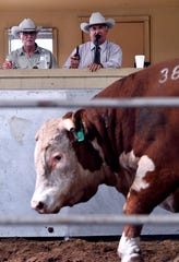 Auctioneer Leo Casas III raps his gavel in quick succession as he takes bids on the Hereford bull in front of him Thursday. Beside him sits John Dudley, one of the owners of the Dudley Bros. Ranch in Comanche.