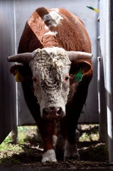A two-year-old Hereford bull slowly walks out of the chute and into the sale pit during Thursday's Dudley Bros. 57th annual Bull Sale in Comanche.