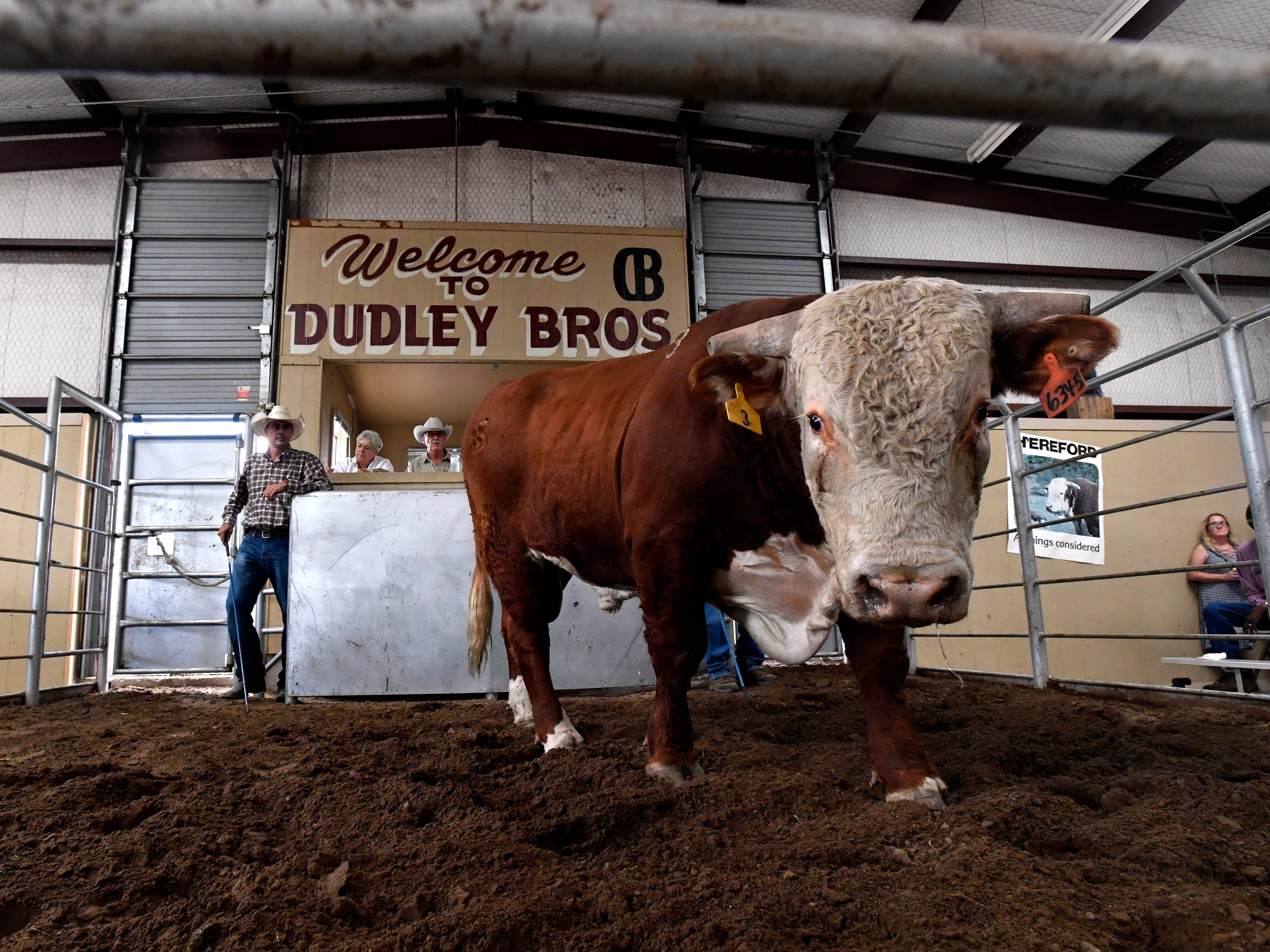 A two-year-old Hereford bull walks in the sale pit at the Dudley Bros. 57th annual Bull Sale Thursday Oct. 4, 2018 in Comanche. There were 137 bulls sold to bidders in-person and over the internet.