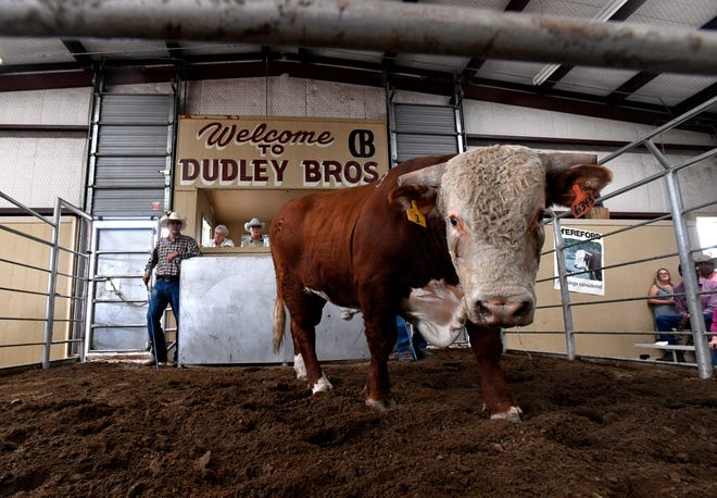 A two-year-old Hereford bull walks in the sale pit at the Dudley Bros. 57th annual Bull Sale on Thursday in Comanche. There were 137 bulls sold to bidders in-person and over the internet.