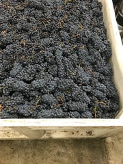 One of 17 bins of fruit from Southern Oregon growers is waiting to be processed at Laurel Ridge Winery. The grapes were rejected by a California winery due to smoke taint.