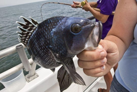 A black sea bass caught on a party boat.