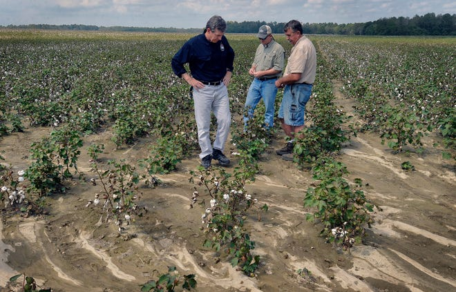 North Carolina Gov. Roy Cooper, left, surveys a cotton field heavily damaged by flood waters from Hurricane Florence with Sandy Stewart, Assistant Commissioner for Agricultural Services with the NC Department of Agriculture, center, and farmer Bryan Hagler on Sept. 21, 2018, in Laurinburg.