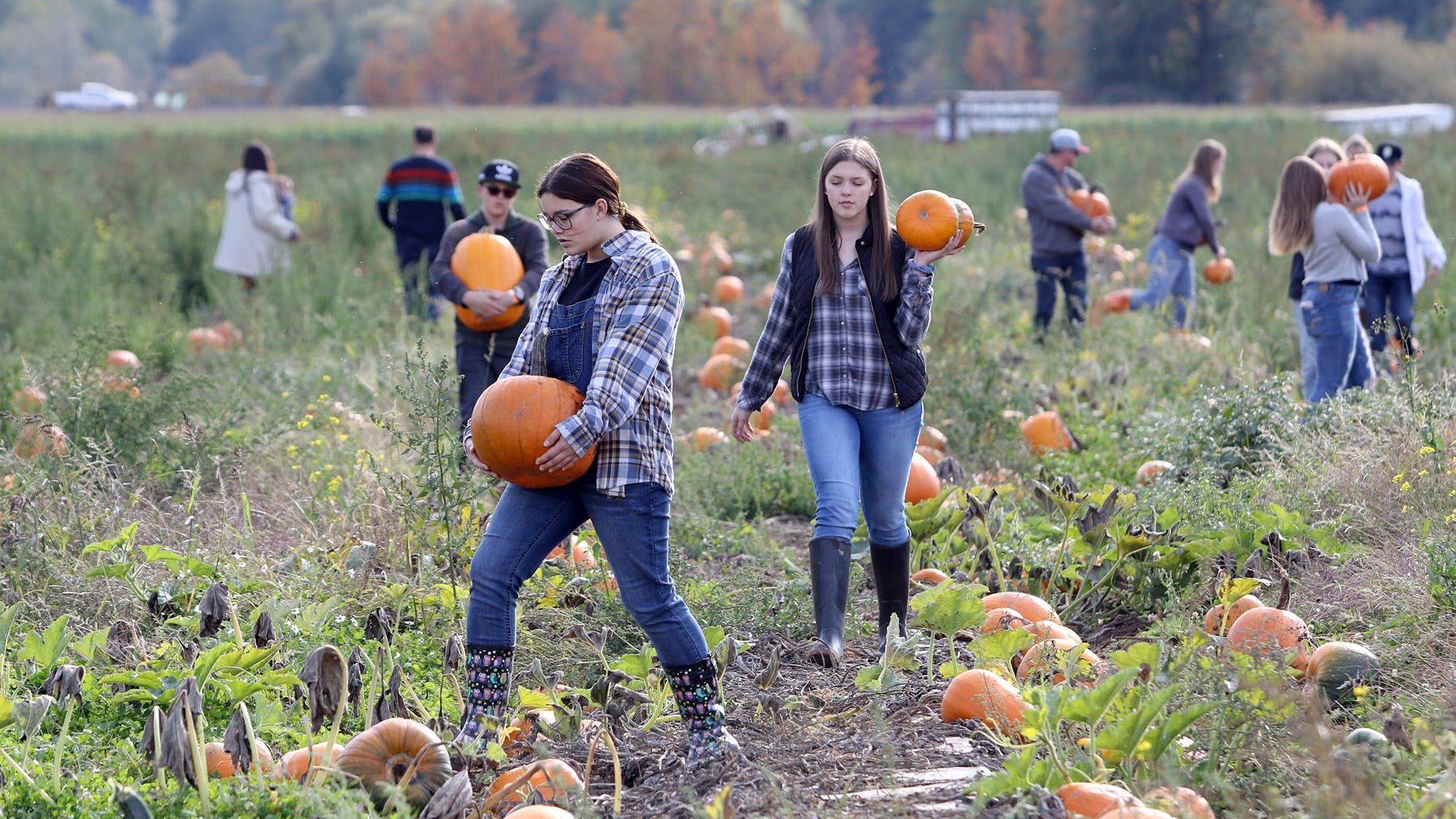 Pumpkin are chosen and hauled out of the field at Hunter Farms.