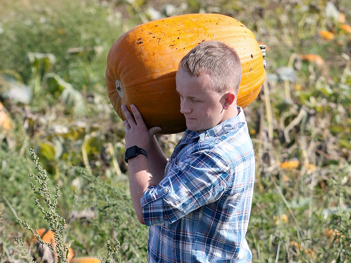 Chris Frost, of Shelton,  hauls a pumpkin big enough for a major piece of halloween artwork out of the field at the Hunter Farms pumpkin patch.