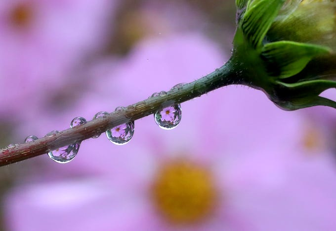 Blooming flowers are refracted in raindrops hanging off a stem at Bremerton's Blueberry Park on Monday, October 8, 2018.