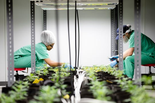 Cresco Labs employees cares for marijuana plants in the newly opened Cresco Labs medical marijuana plant in Yellow Springs, Ohio, on Monday, Oct. 8, 2018.