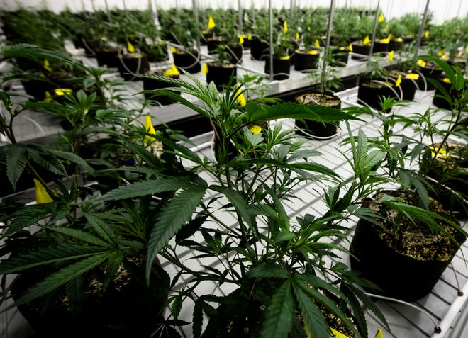 Marijuana grows in the newly opened Cresco Labs medical marijuana plant in Yellow Springs, Ohio, on Monday, Oct. 8, 2018.