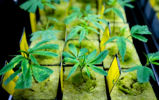 Marijuana grows in the newly opened Cresco Labs medical marijuana plant in Yellow Springs, Ohio, on Monday, Oct. 8, 2018.