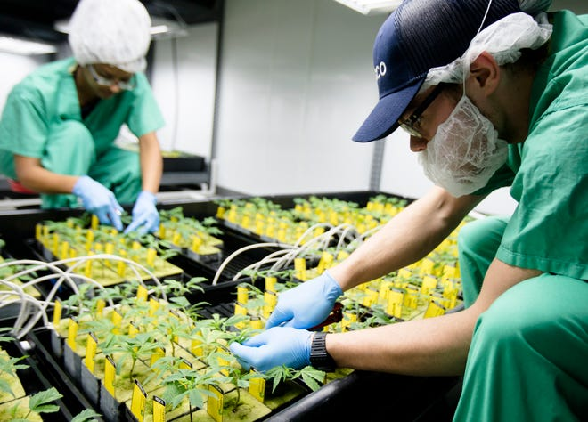 A Cresco Labs employee cares for marijuana plants in the newly opened Cresco Labs medical marijuana plant in Yellow Springs, Ohio, on Monday, Oct. 8, 2018.